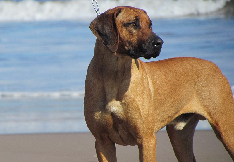 Why Do Big Dogs Live Less Than Small Ones?