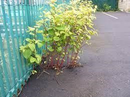 Why is Japanese Knotweed Such a Problem?